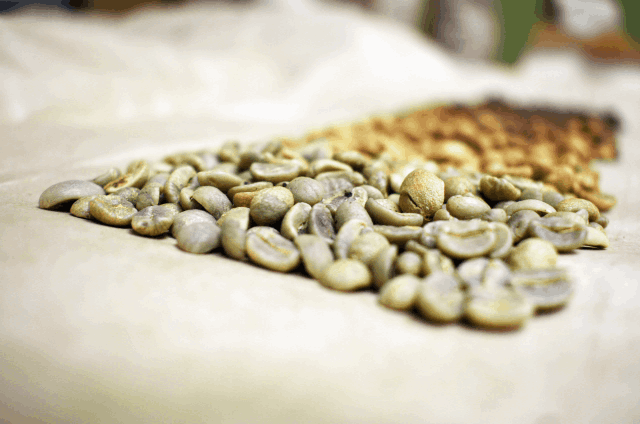 Green coffee beans at the beginning of the roast spectrum
