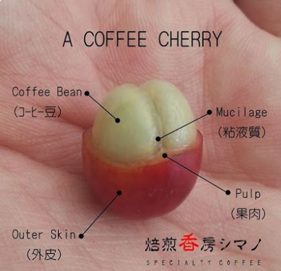 Anatomy of a coffee cherry, in English and Chinese